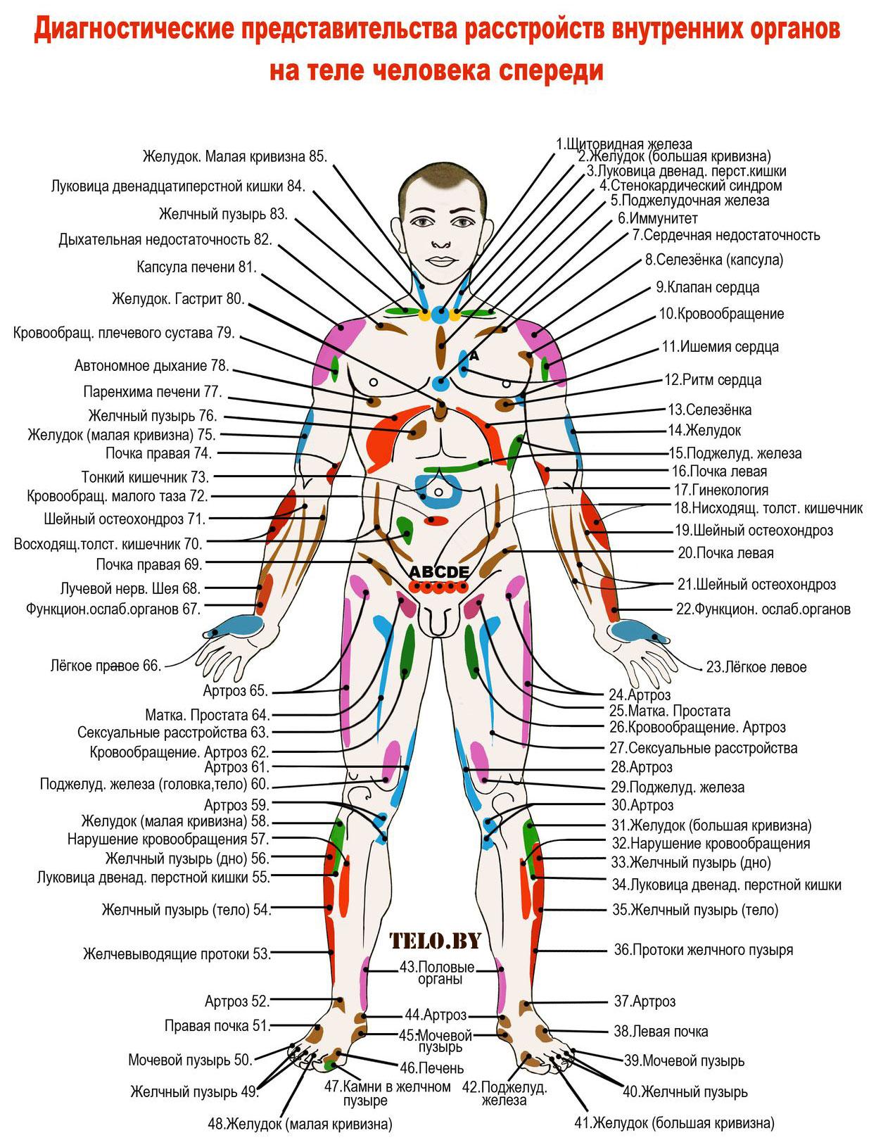 внутренние органы человека схема расположения у женщин